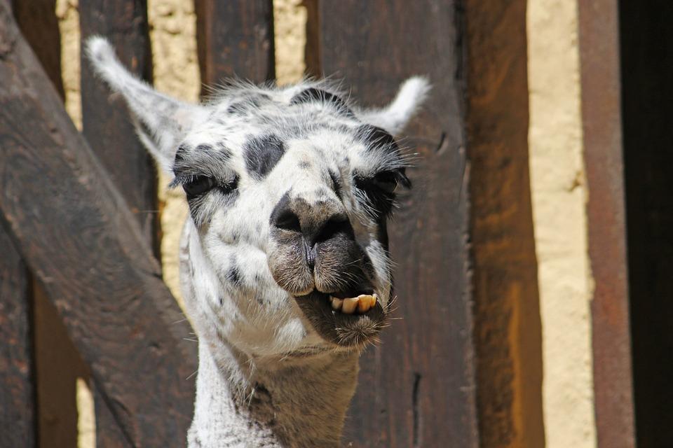 Lama, Head, Face, Ears, Zoo, Wildlife Photography