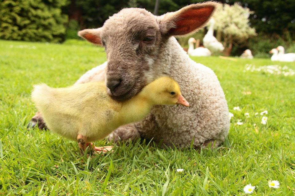 Lamb, Gosling, Animal, Farm