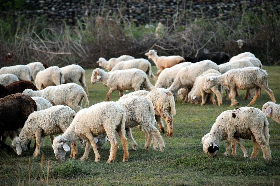 Sheep, Flock, Wool, Animals, Lamb, Meadow, Farm, Herd