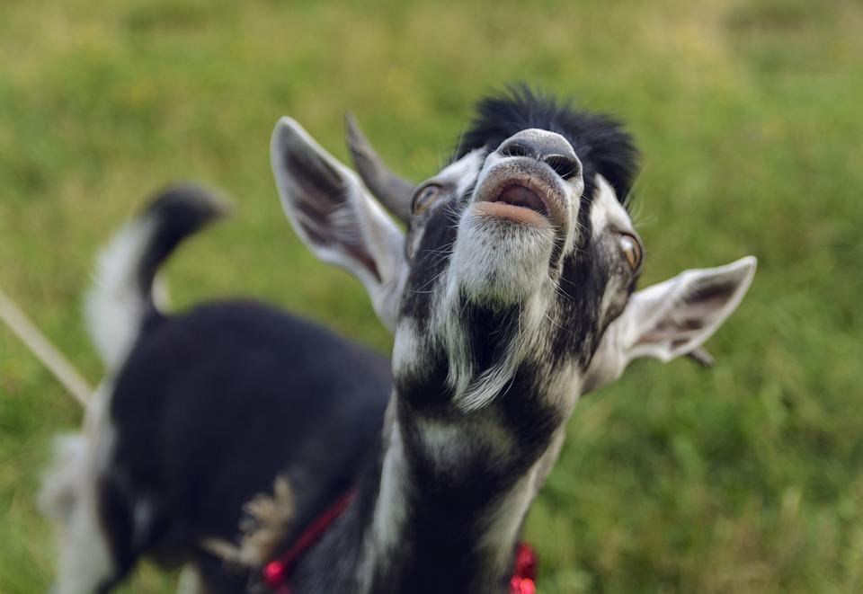 Goat, Lamb, Few, Grass, Cattle, Pasture, Zhivotnykh