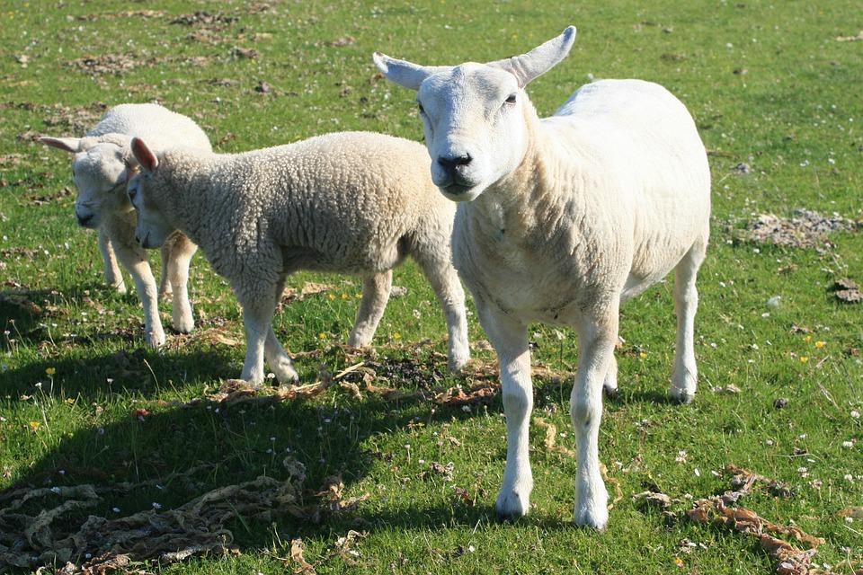 Lamb, Sheep, Green, Field