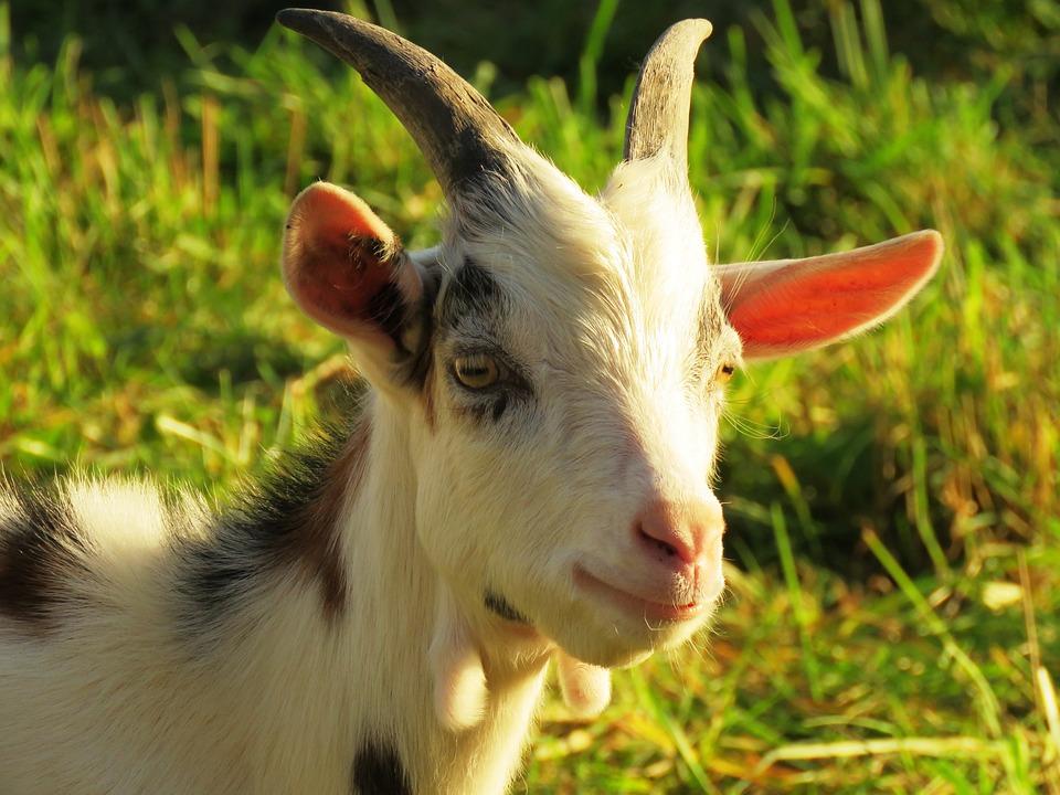 Goat, Billy Goat, Horns, Horned, Pillar, Lamb