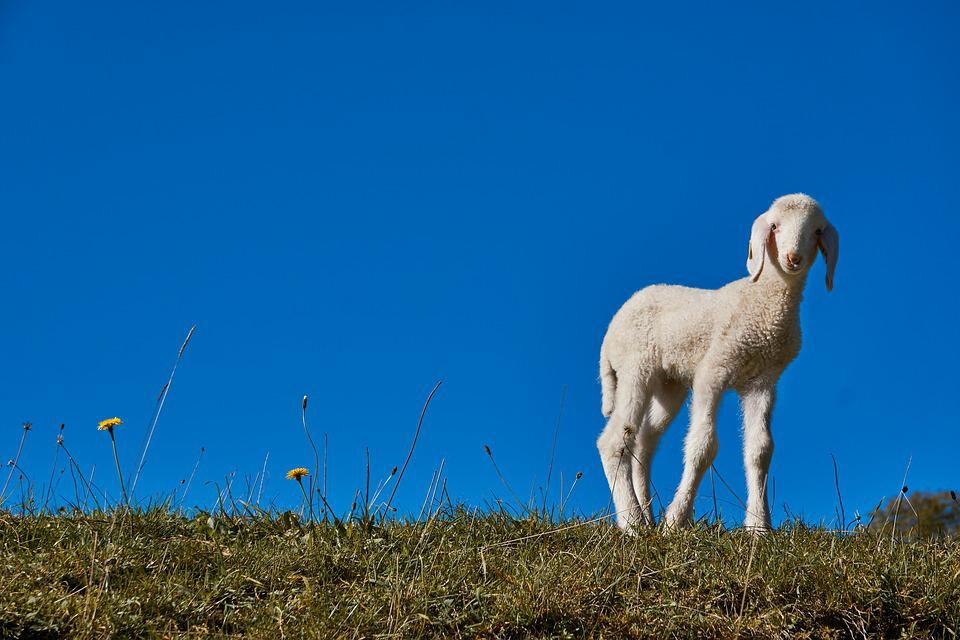 Lamb, Easter, Sheep, Spring, Cute, Meadow, Curious