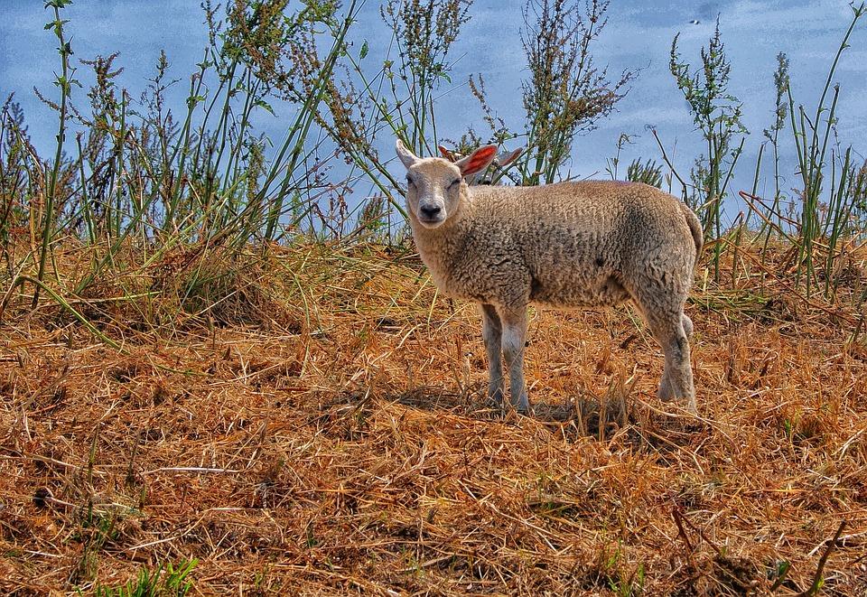 Sheep, Lamb, Countryside, Nature, Animals, Outdoor Life