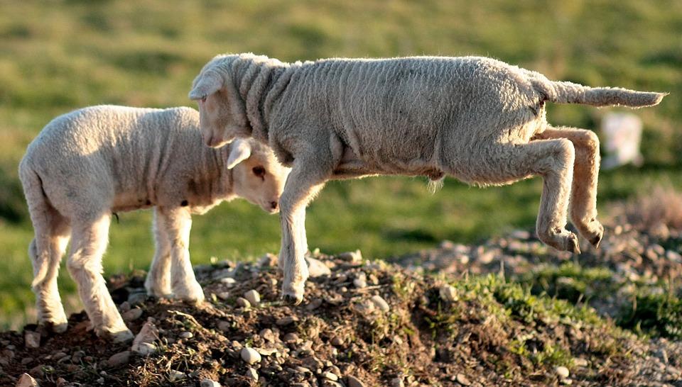 Lamb, The Flock, Play, Pet