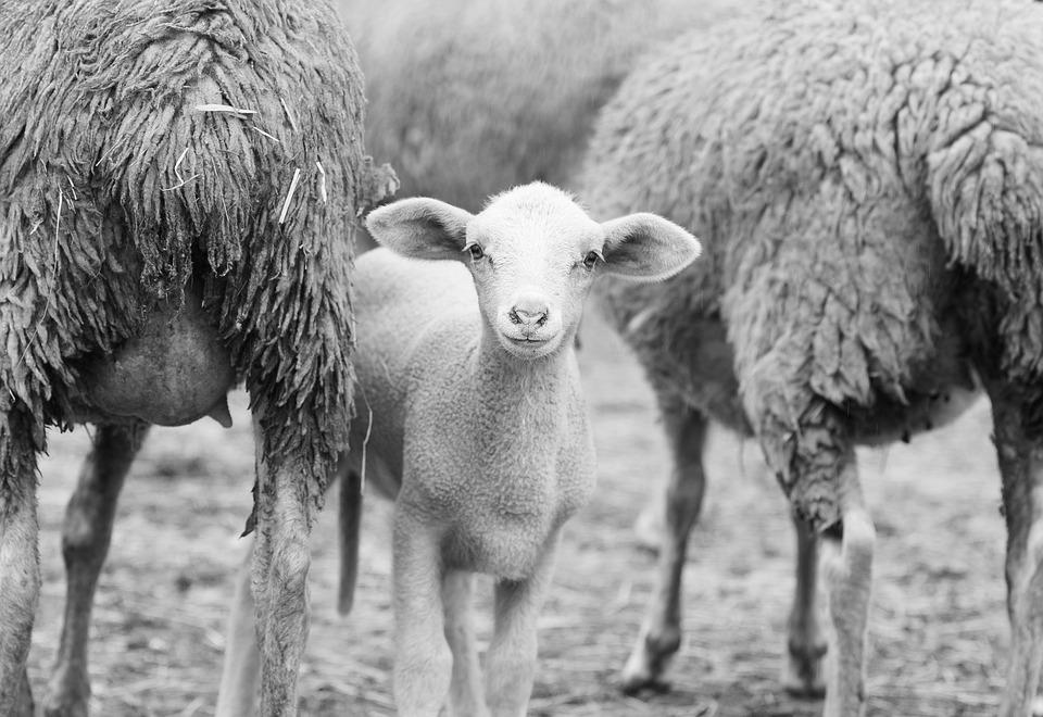 Sheep, Lamb, Herd
