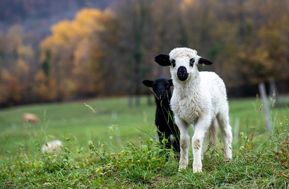 Lamb, Sheep, Animals, Mammals, Livestock, Pasture