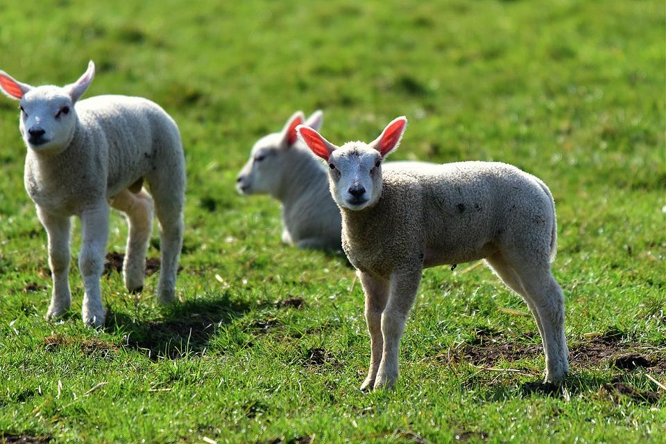 Lamb, Sheep, Animal, Wool, Young, Grass, Pasture