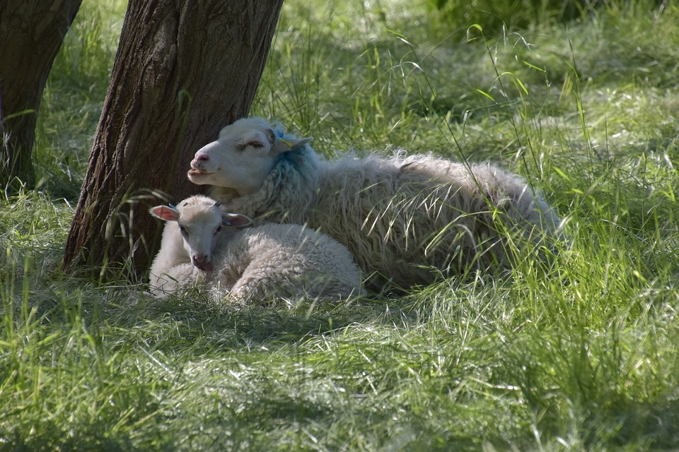 Sheep, Lamb, Young Animal, Young, Motherly Love, Meadow