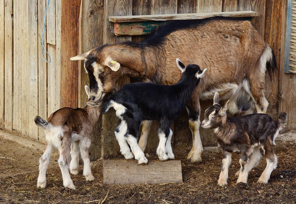 Goats, Kid, Young Goats, Domestic Goat, Lambs