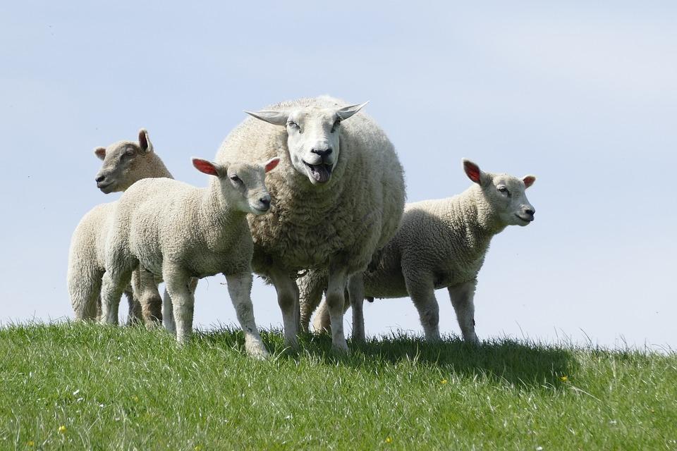 Sheep, Farm, Lambs, Animals, North Sea Dike