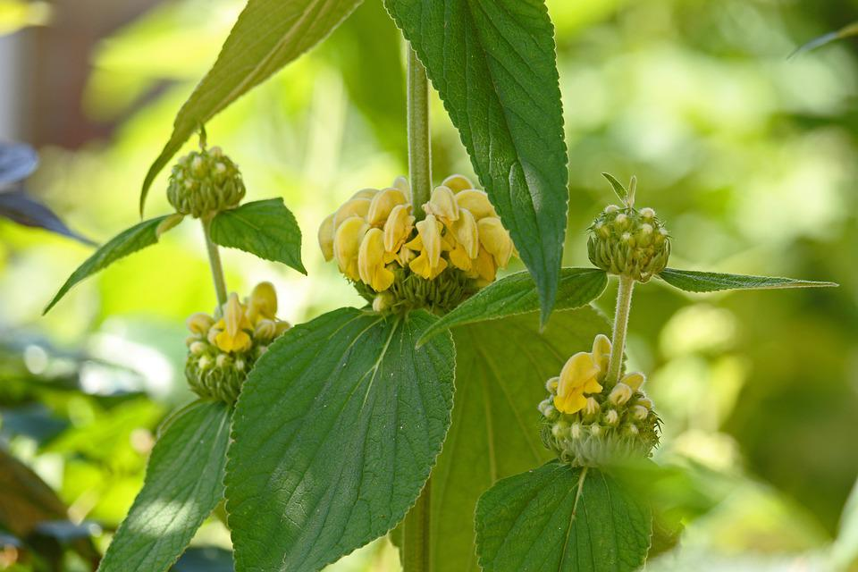 Fire Herb, Flower, Lamiaceae, Plant, Stalk, Green