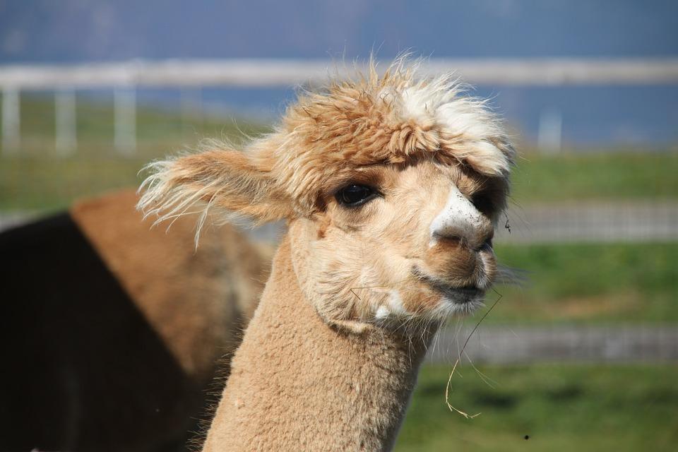Alpaka, Animal, Monte Baldo, Lake Garda, Lana, Alpaca