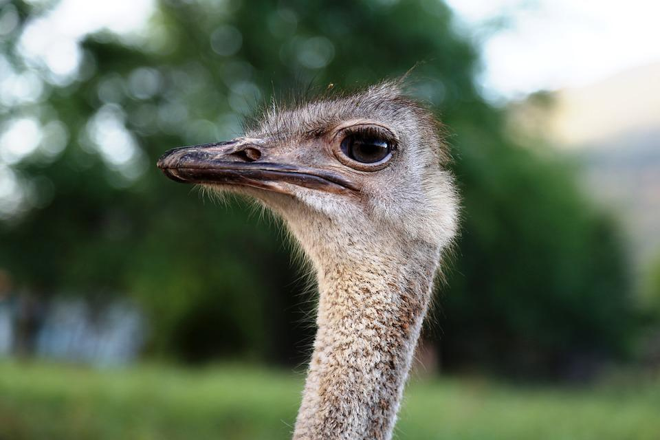 Ostrich Head, Bird, Land Animal, Giant Bird