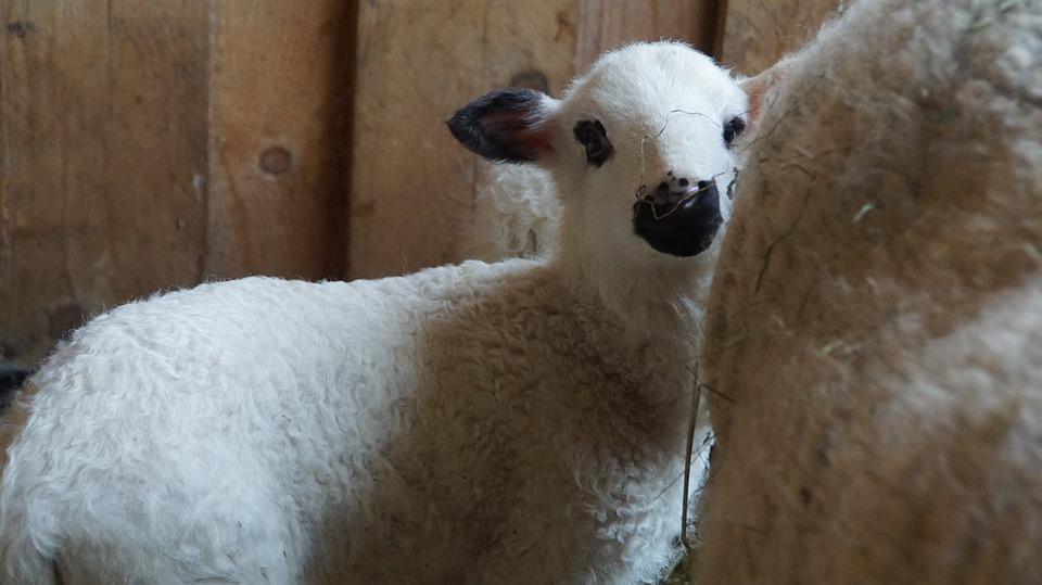Sheep, Lamb, Black And White, Village, Land, Stall