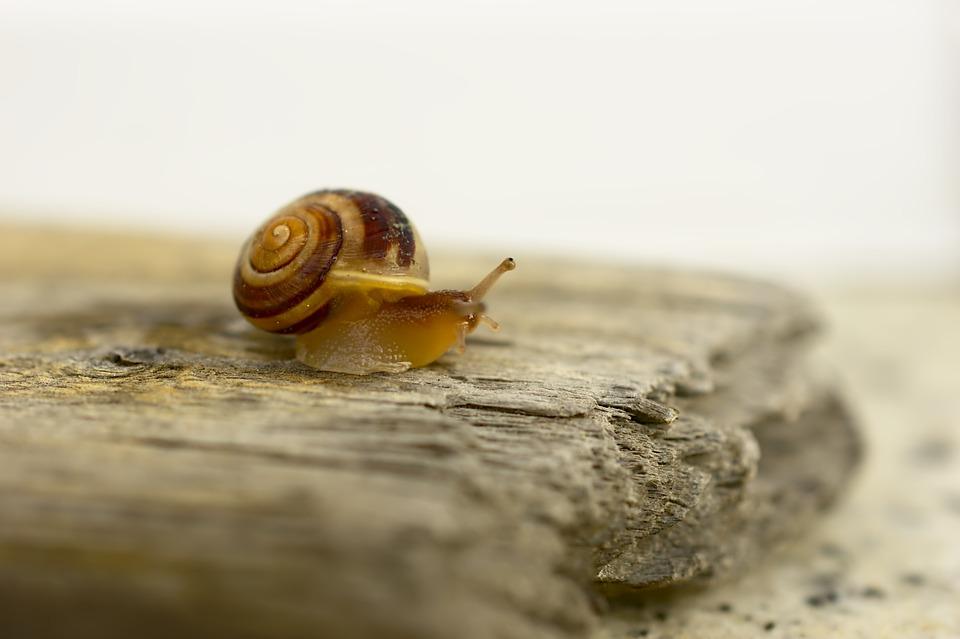 Snail, Land Snail, Helix Pomatia, Animal, Young Animal