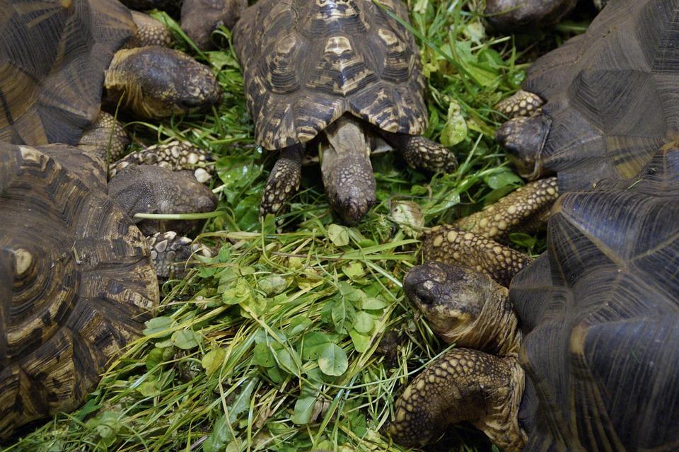 Land Turtles, Turtles, Eat, Feeding, Reptile, Zoo