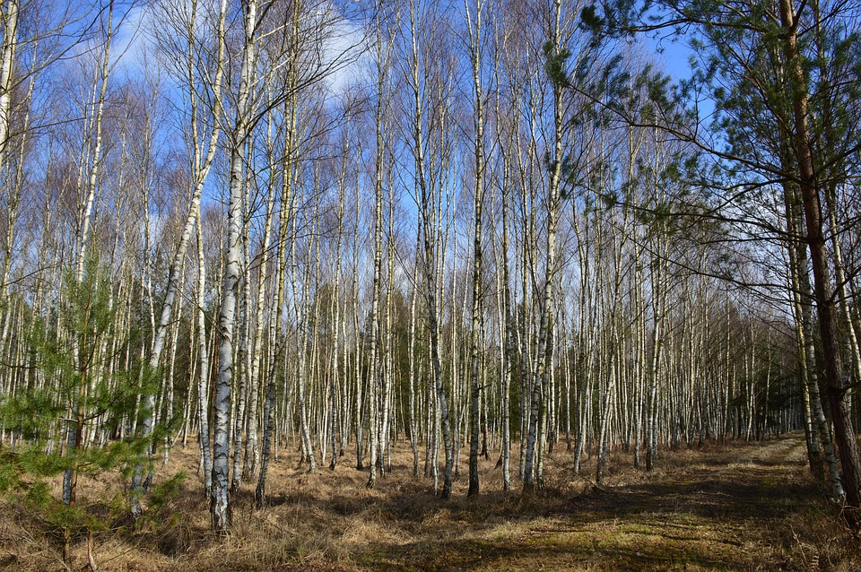 Forest, Nature, Birch, Autumn, Spring, Trees, Landscape