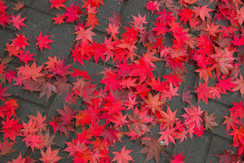 Maple Leaf, Autumn, Autumn Leaves, Landscape, Gil