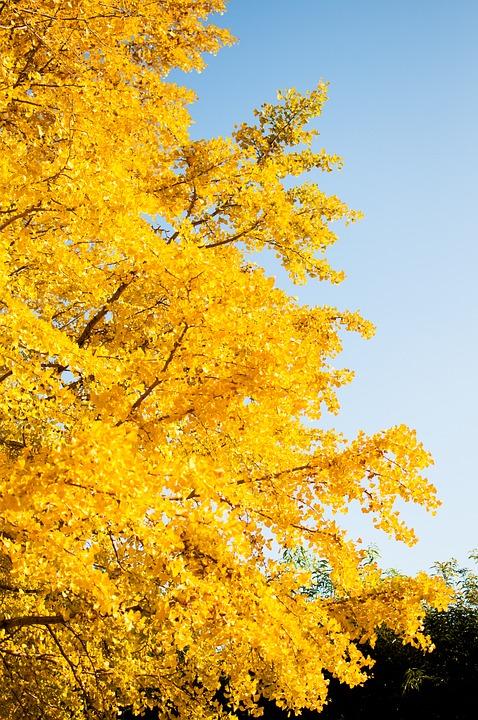 Ginkgo Biloba, Autumnal Leaves, Landscape, Sky