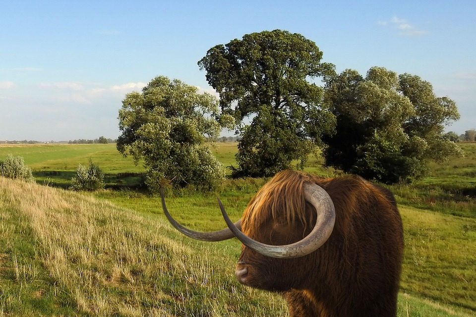 Landscape, Animal, Beef, Horns, Meadow, Trees