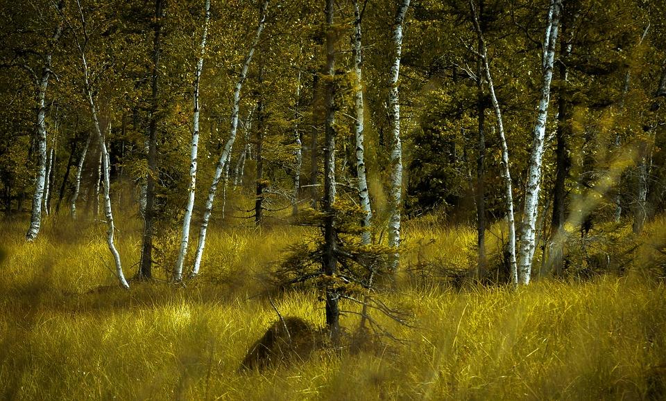 Birch Forest, Landscape, Forest, Tree, Birch, Mood