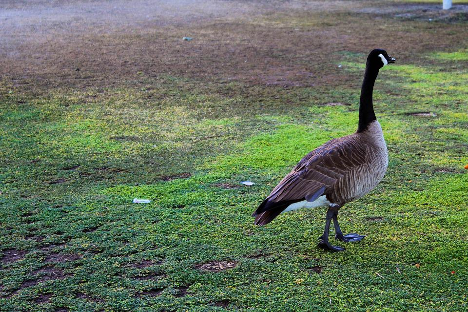 Canada Goose, Bird, Green, Landscape, Animal, Geese