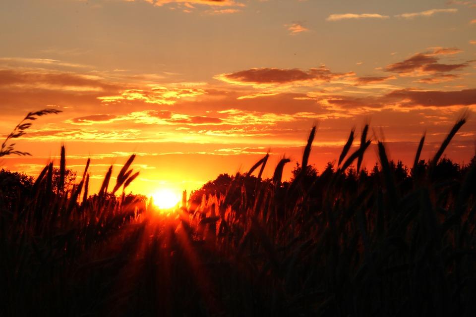Sunset, Field, Agriculture, Cereals, Summer, Landscape