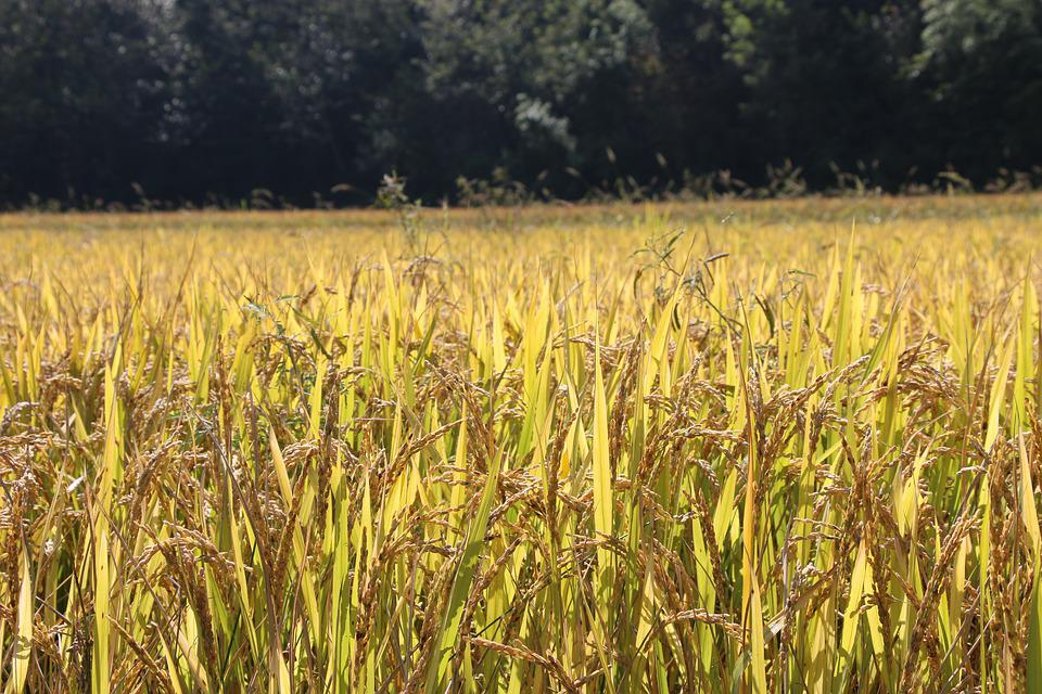 Rice Paddies, Ch, Landscape, Rice, Nature, Agriculture