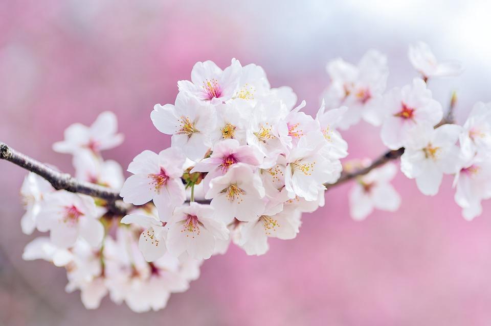Free photo landscape cherry spring flowers japan plant max pixel japan landscape spring plant cherry flowers mightylinksfo