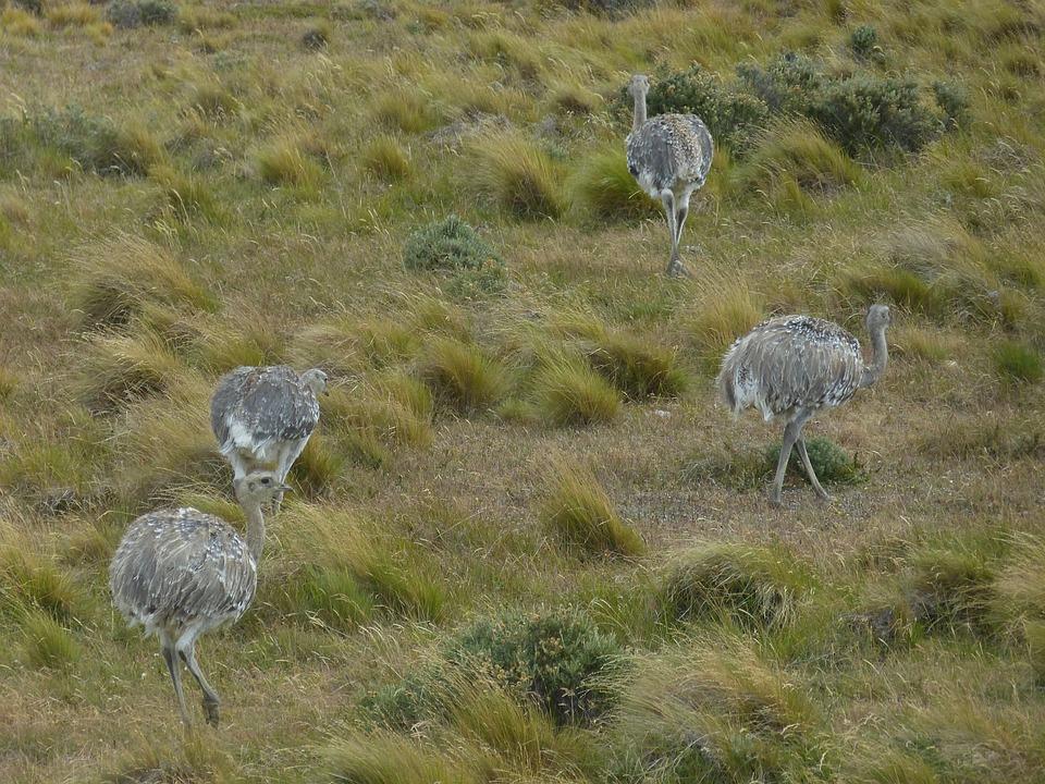 Chile, South America, Landscape, Nature, Rhea Bird