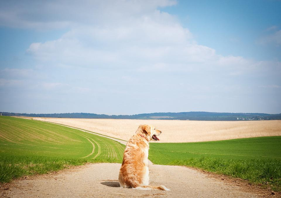 Dog, Golden Retriever, Pet, Hundeportrait, Landscape