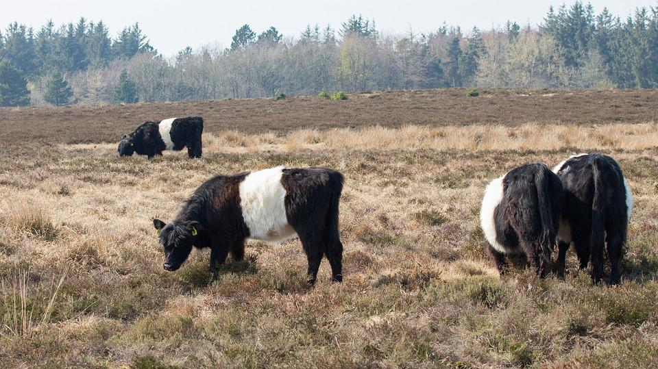 Galloway, Cows, Cattle, Expensive, Heath, Landscape