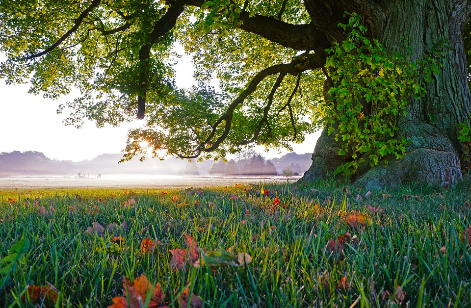 Tree, Nature, Grass, Landscape, Old Tree, Fall Leaves