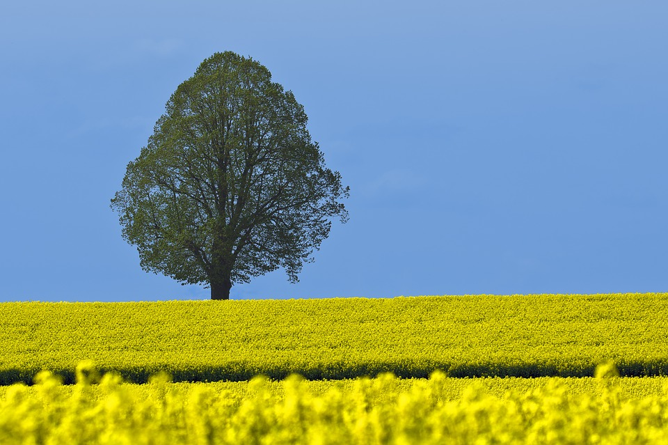 Tree, Field Of Rapeseeds, Blue Sky, Nature, Landscape