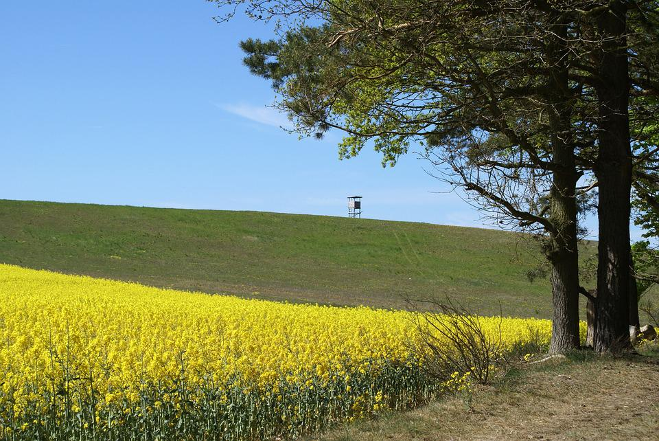 Field Of Rapeseeds, In The, Landscape
