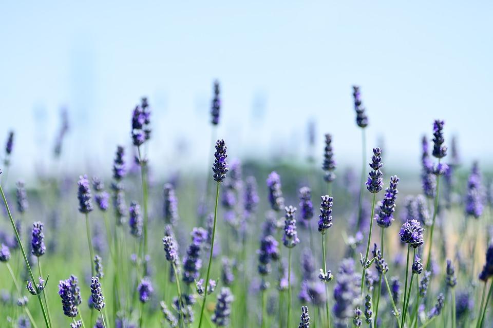 Lavender, Field, Natural, Landscape, Flower Garden