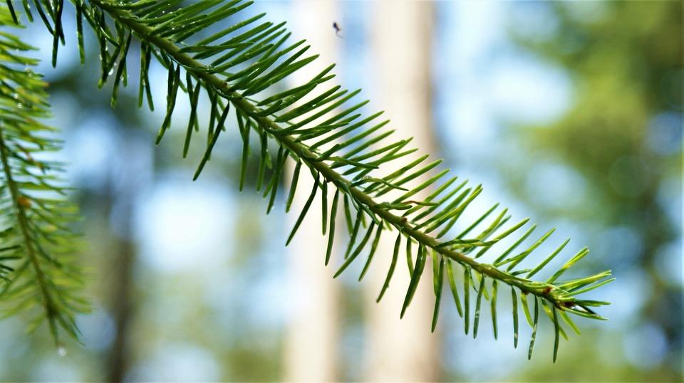 Conifer, Branch, Forest, Spin, Landscape, Needle
