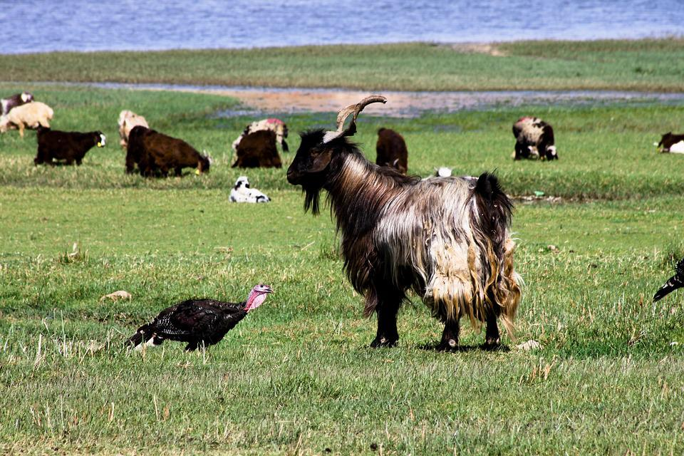 Nature, Landscape, Goat, Grassland