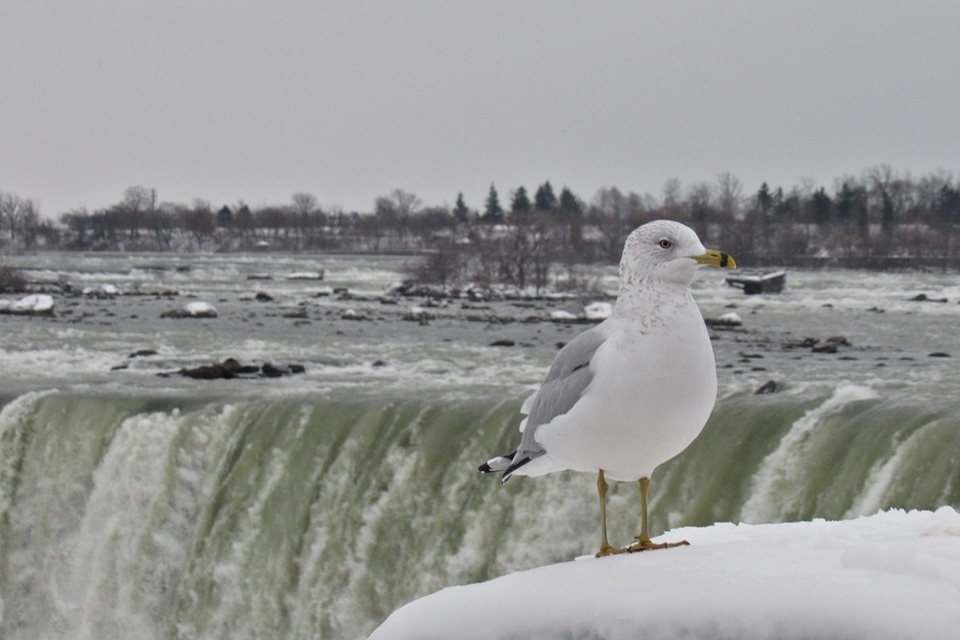 Niagara, Gull, Landscape, Waterfall Bird, Nature