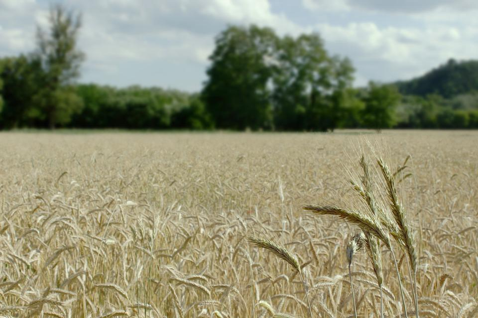 Wheat Field, Landscape, Summer, Harvest, Wheat, Sky