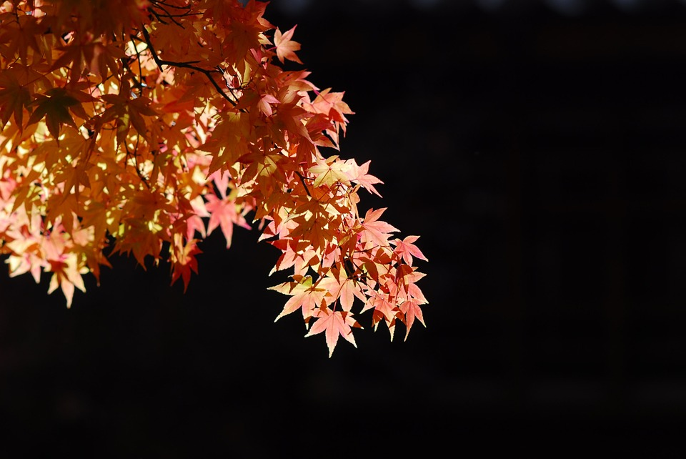 Maple Leaf, Tree, Landscape, Nature