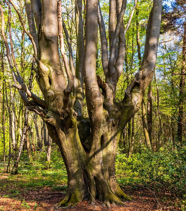 Wood, Tree, Nature, Landscape, Plant, Forest, Beech