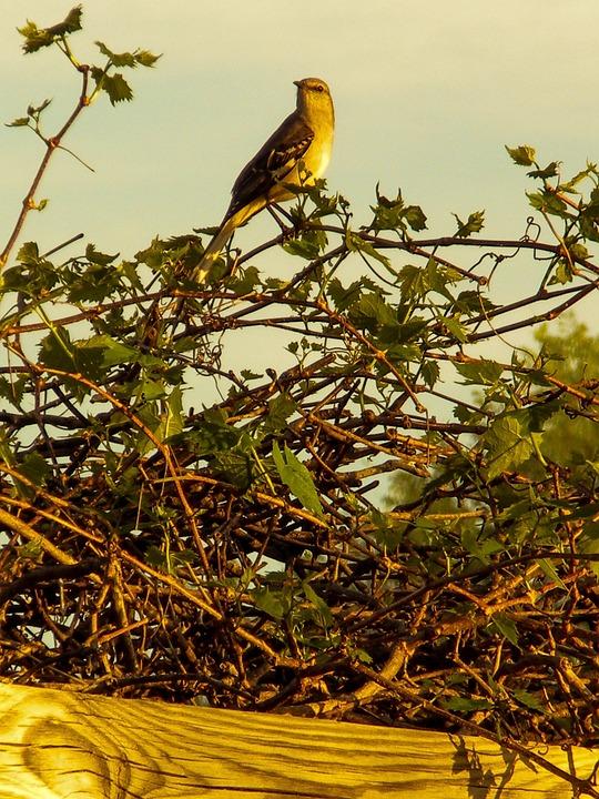 Mockingbird, Spring, Nature, Landscape, Texas