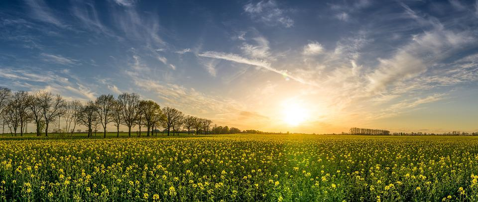 Oilseed Rape, Field Of Rapeseeds, Sunset, Landscape
