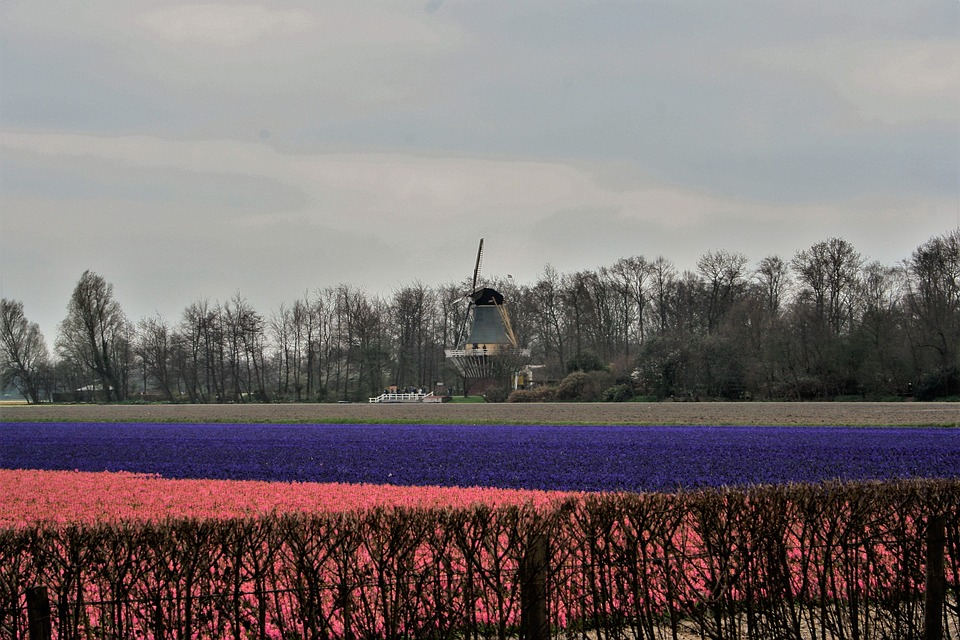 Natural, Outdoor, Landscape, Tulips, The Netherlands