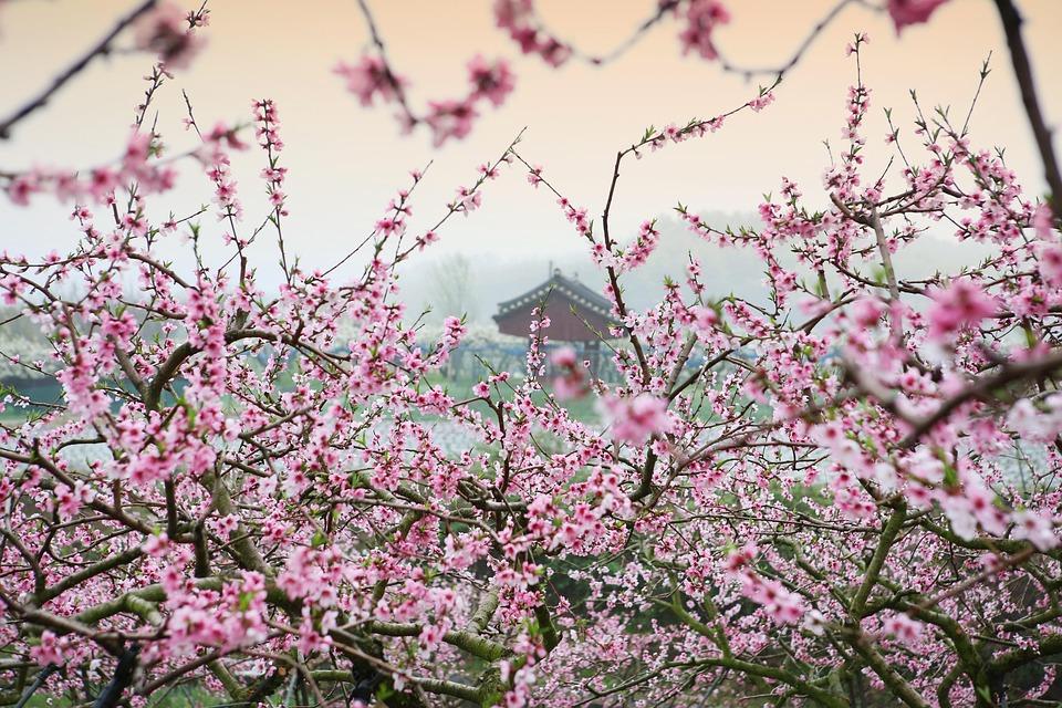 Peach Blossom, Landscape, Spring, Nature, Plants, Trees