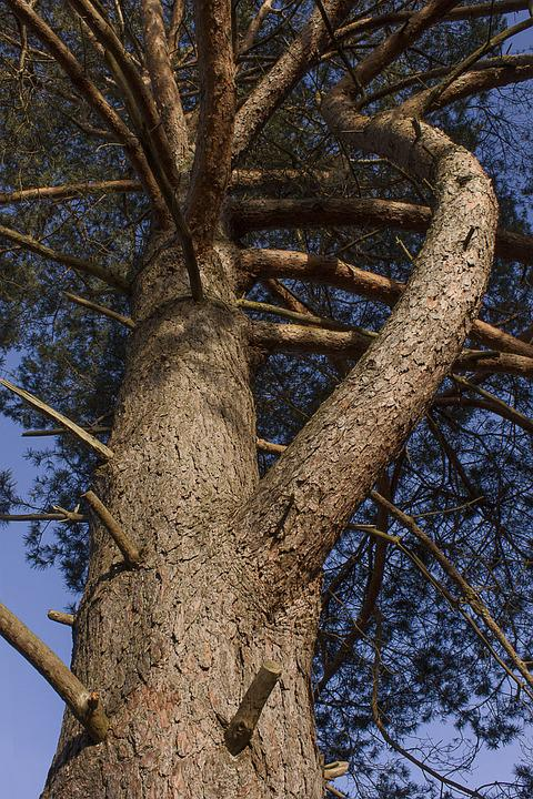 Tree, Conifer, Forest, Nature, Pine, Landscape, Plant