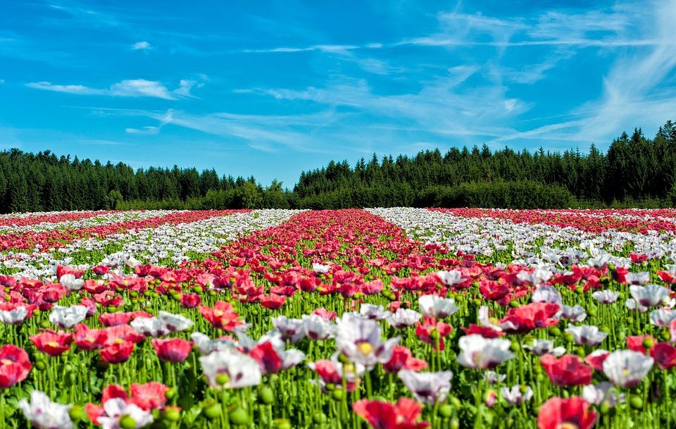 Poppy, Field Of Poppies, Flowers, Field, Landscape, Red