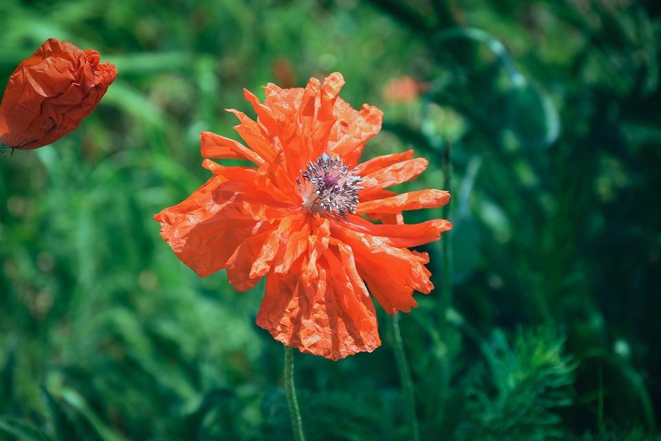 Poppy, Flower, Nature, Bloom, Red, Summer, Landscape